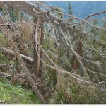 Trees broken by avalanche in Fagaras (M Voiculescu)